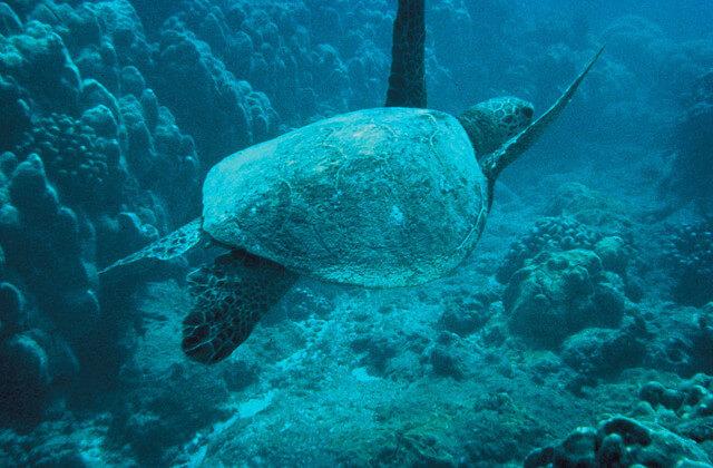 アオウミガメの画像
