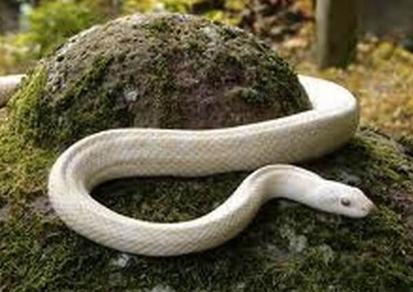 白いヘビの画像