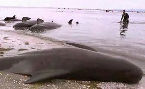 ニュージーランドでのクジラ座礁の画像