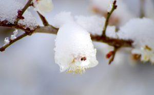 雪と桜の画像