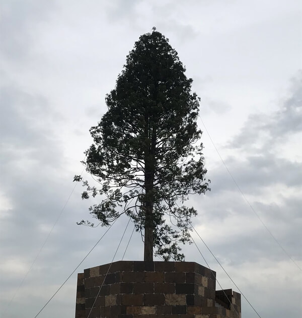 あすなろの木の画像