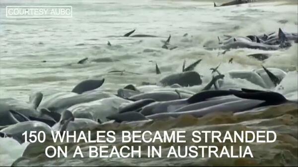 オーストラリアで発生したクジラの座礁