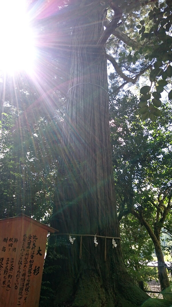 須佐神社のご神木の写真