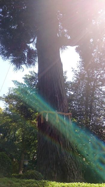 鹿島神宮のご神木の写真