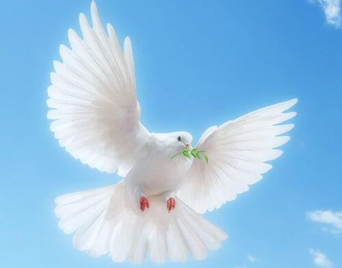白い鳩の写真