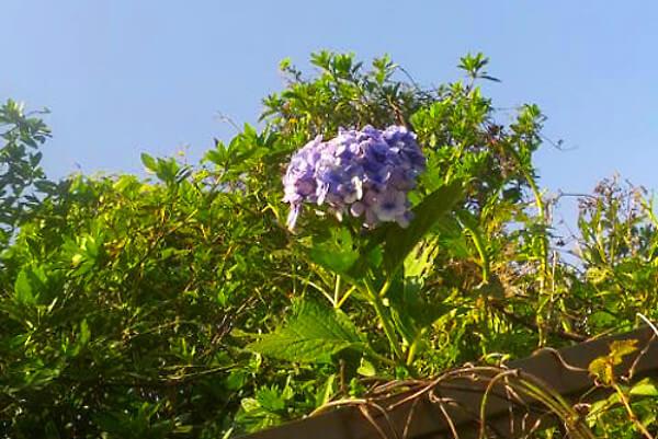 季節外れの紫陽花の写真