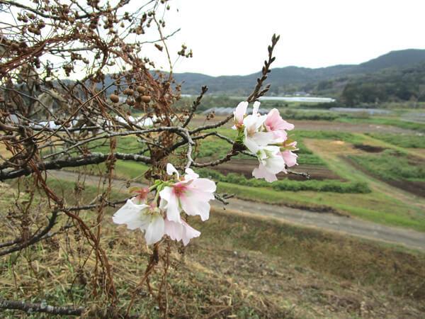 桜の写真(中年おっさんさん撮影)