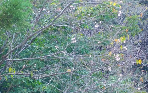 季節外れの桜の写真