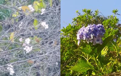 季節外れの桜と紫陽花の写真