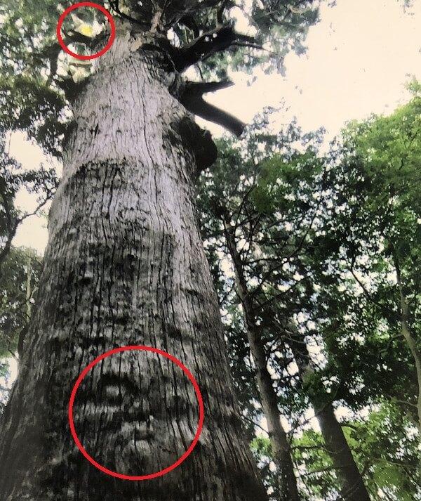 麻賀多神社の御神木の写真