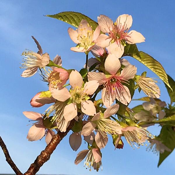 ヒマラヤ桜の写真