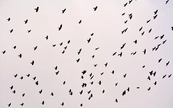 カラスの群れの写真