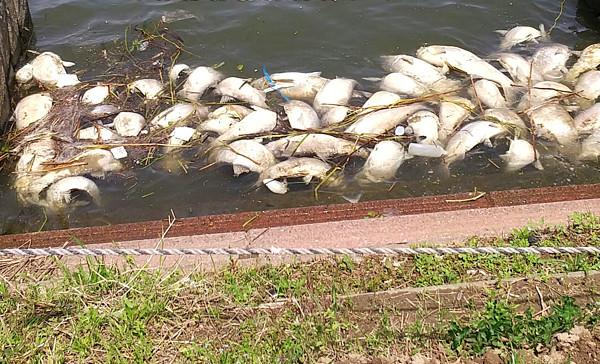 利根川に浮いていた魚の写真