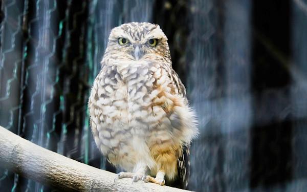 フクロウの写真